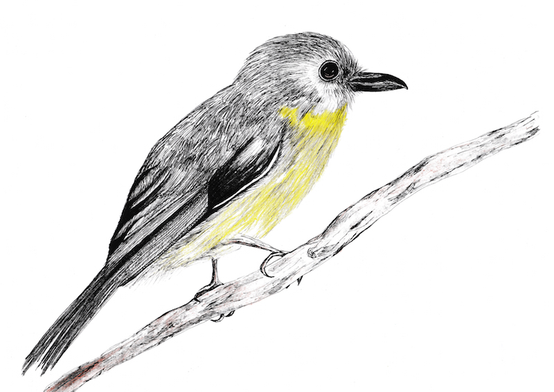 Hand drawn artwork of yellow breasted tropical birds for our luxury Birds Wallpaper.